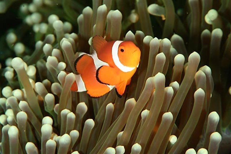 scuba diving puerto galera clownfish