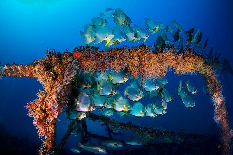Alma Jane wreck dive puerto galera batfish