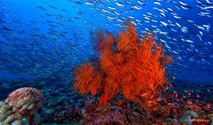 scuba diving puerto galera coral