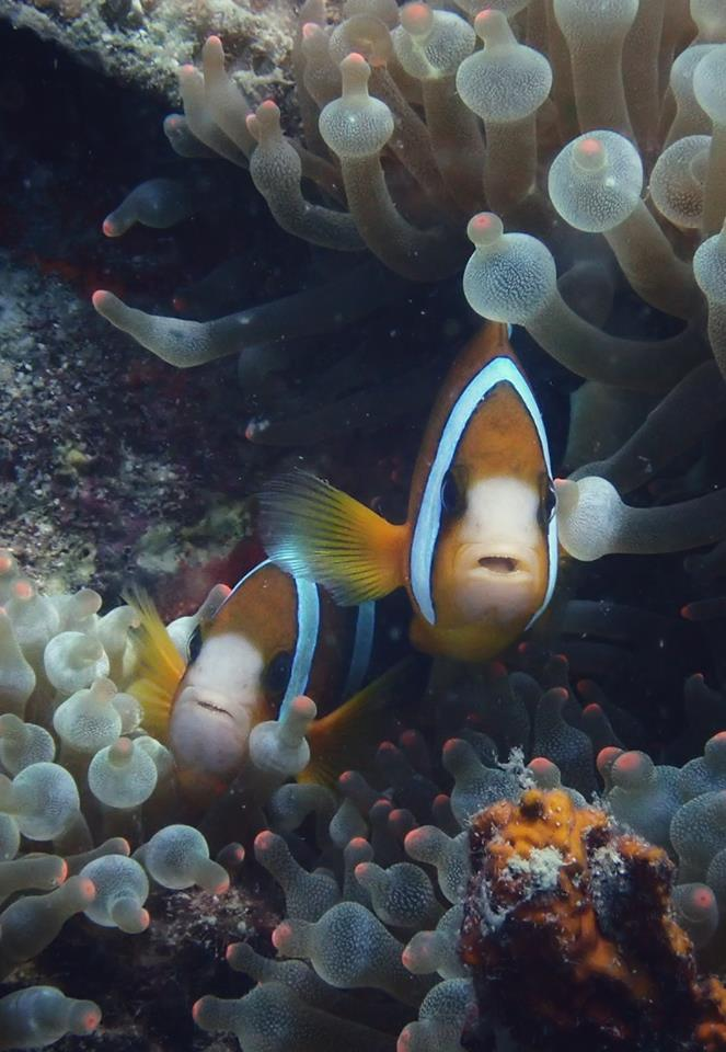 clownfish puerto galera asia divers