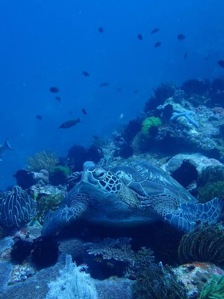 turtle diving puerto galera
