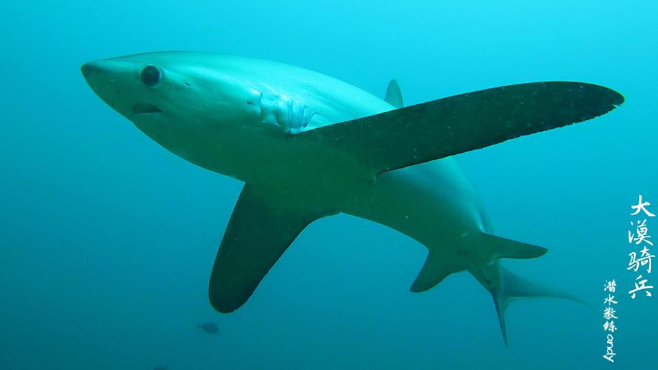 Thresher Sharks in Puerto Galera