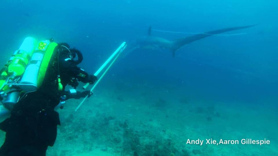 rebreather diver helps tangled thresher shark