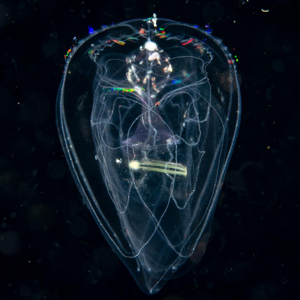 Comb Jellyfish with Larvacean