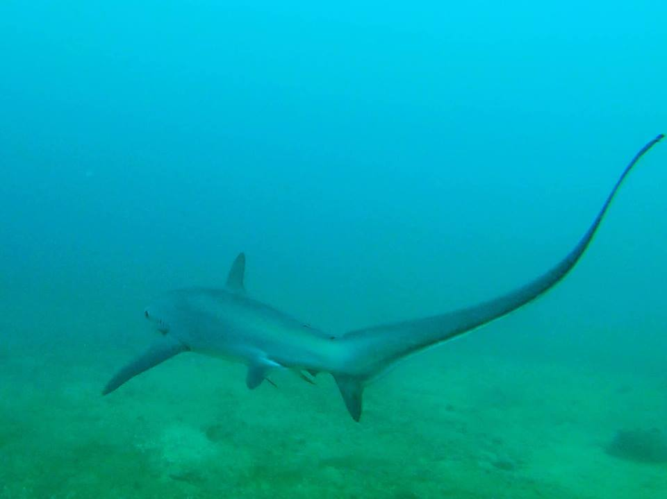 thresher shark puerto galera asia divers